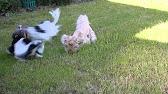 Английский кокер-спаниель, щенок Сайт - YouTube