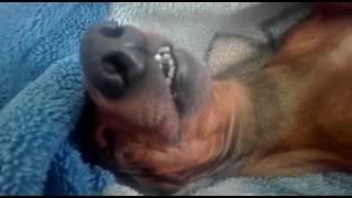 Пес спит с открытым ртом