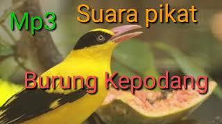 Download Mp3 Mp3 Suara Pikat Burung Kepodang