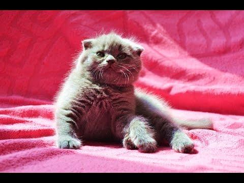 Британские котята коты и кошки : голубые, лиловые
