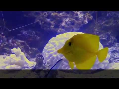 A Cleaner Wrasse Cleaning a Yellow Tang with Ick