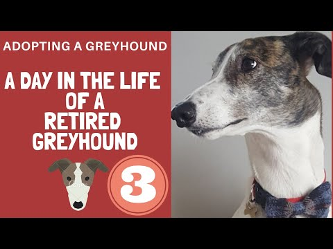 An evening with a Greyhound called Magnus