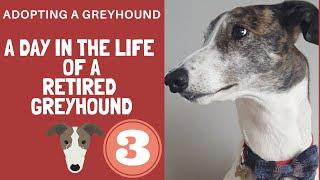 An evening with a Greyhound called Magnus
