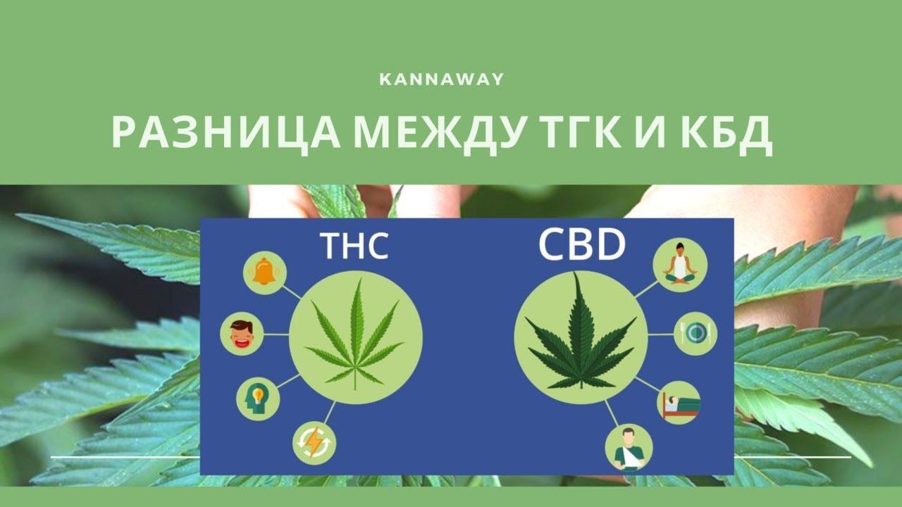 Тгк марихуана филлостиктоз конопли