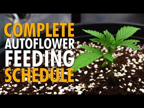 How to Feed and Water Autoflowers – Simple Schedule