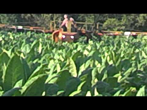 Spraying tobacco