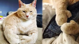 Пара взяла из приюта кота великана с лапами словно варежки