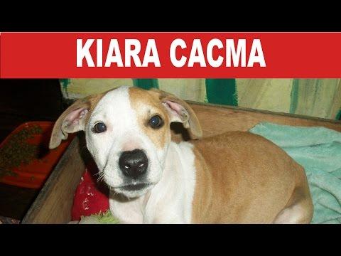 Kiara Cacma: Una perrita pitbull rescatada| Tu Mascota TV