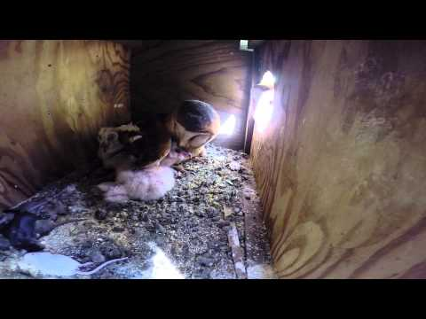 Secret Camera in Barn Owl Nestbox