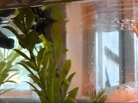 Black Moor Goldfish Eating Fish Food