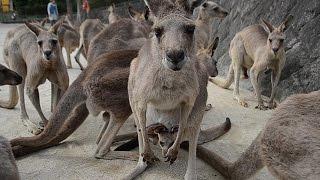 木陰にオオカンガルーの群れが身を寄せ、小型カンガルーのワラビーがひ...