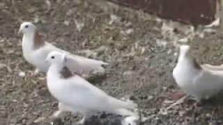 Armyanskie golubi 2016 Sevan