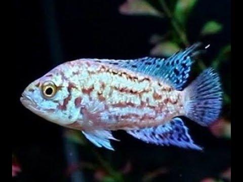 Electric Pink Jack Dempsey Cichlid [electric Blue Jack Dempsey Genes EBJD] Aquarium Fish Tank