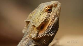 Read My Beard--Lizards Change Neck Color to Chat