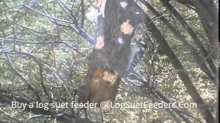 Downy Woodpecker eating from a log suet feeder
