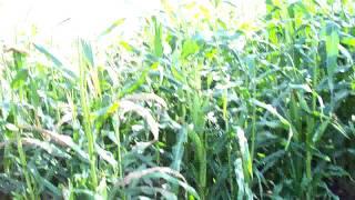 Corn & Tomatoes Harvesting Soon 13th Week #17 Heirloom Organic Vegetable Garden