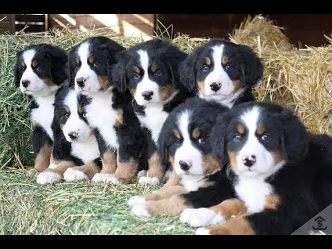Bernese Mountain Dog//Dog breed//Dog Variety and Information