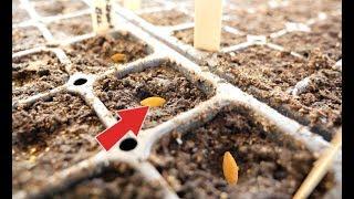 Посадите огурцы на рассаду в апреле этим способом для вкусных плодов уже в мае!
