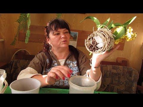 Пересадка орхидеи Онцидиум после покупки.