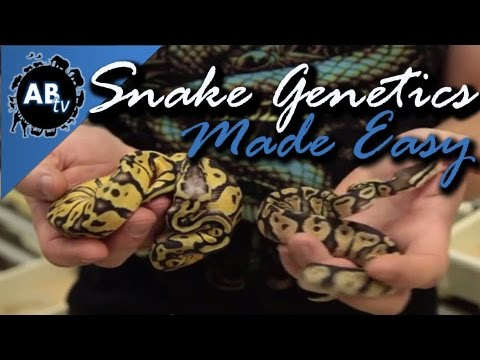 Snake Genetics Made Simple : SnakeBytesTV : AnimalBytesTV