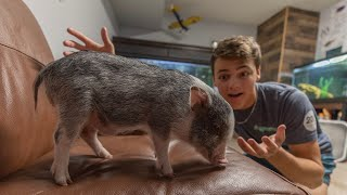 My *NEW* Pet PIGLET!!! (bubba)
