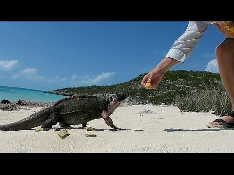 42. Sailboat Story - Feeding Wild Iguanas At Bitter Guana Cay