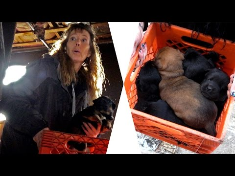 Hope For 7 Chubby Puppies Rescued From Burned Out House: Ep 25 Rescuing Rogue w Detroit Pit Crew