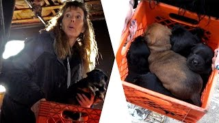 Hope For 7 Chubby Puppies Rescued From Burned Detroit House: Ep 25 Rescuing Rogue w Detroit Pit Crew
