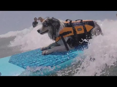 Dogs Ride Huge Waves in Purina Surfing Competition