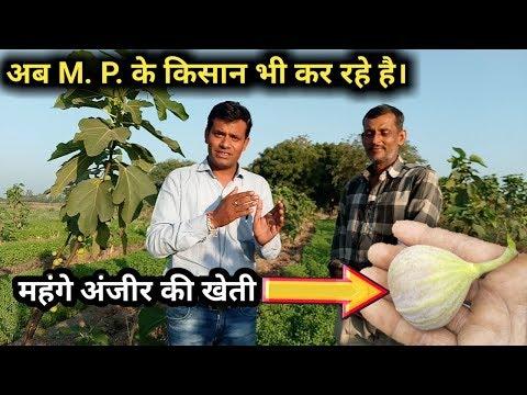 अंजीर की खेती की पूरी जानकारी | Anjeer Ki Kheti | Fig Farming in India