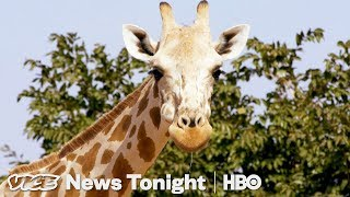 Niger's Giraffe Mission & Italy Refugee Evictions: VICE News Tonight Full Episode (HBO)