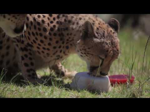 Cheetahs enjoy ice-blocks to cool down in Summer