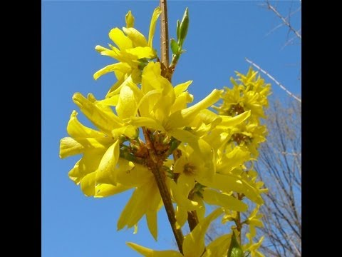 How to grow Forsythia - Gardening 101 by Dr. Greenthumb