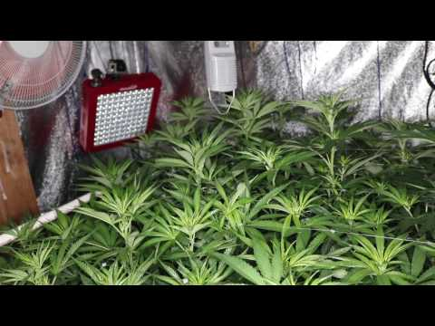 GROW SEASON 10 ( 1 week flower ) JUNGLE CONTROL, FEROCIOUS, PLATINUM LED, REMO NUTRIENTS,