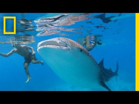 Is Swimming With These Endangered Whale Sharks Helping or Hurting Them? | National Geographic
