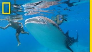 Is Swimming With These Endangered Whale Sharks Helping or Hurting Them?