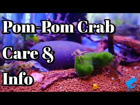 Pom Pom Crab Freshwater Care And Information (PTYCHOGNATHUS BARBATUS)