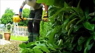 Trimming  laurel hedges