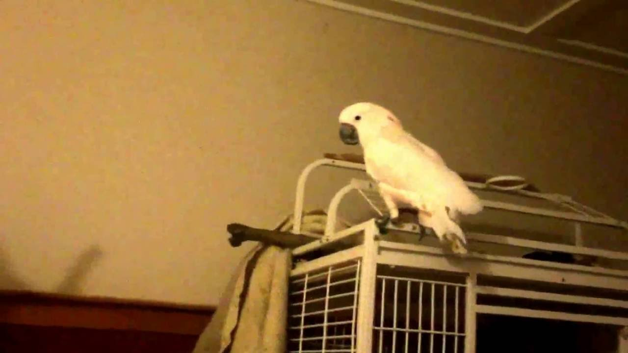 Reason not to get a cockatoo: Screaming and LOUD talking at night