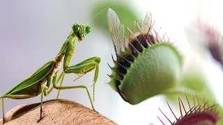 A Large Venus Flytrap VS a Mantis