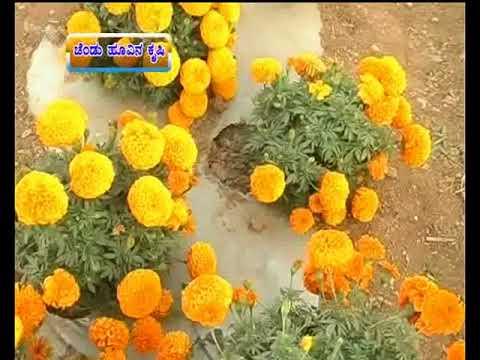 How to  do a profitable  Marigold farming- ಚೆಂಡು ಹೂವು