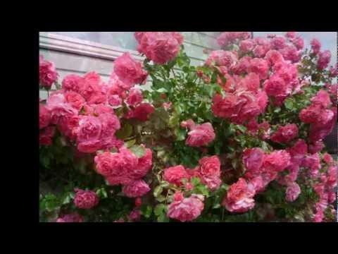 Min ros - från påsk till midsommar 2011!