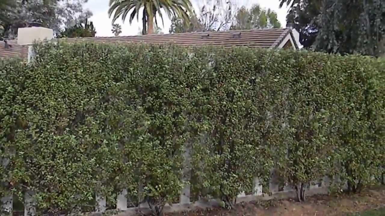 Pittosporum Tenuifolium Silver Sheen