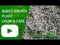 Baby's breath plant - grow & care
