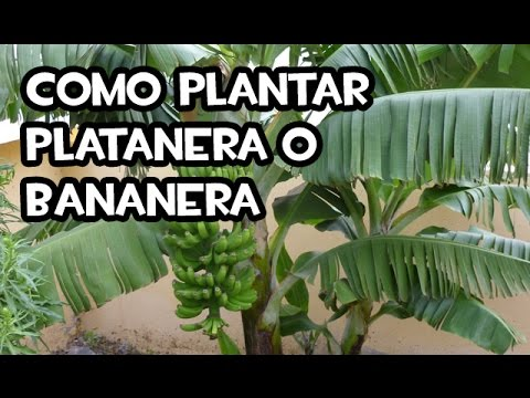 Como plantar platanera o bananera youtube - Como se planta el bambu ...