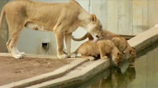 「ママってば、もういい加減にしてよ!」子供を水に落っことしちゃったお母さんライオン
