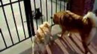 Cat Tease Cocker Spaniel & Chow/german Shepherd Mixed
