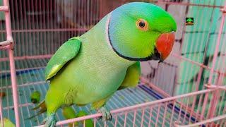 Ringneck Parrots Talking And Dancing