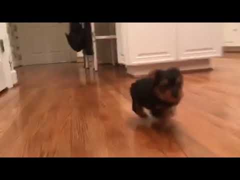 Rocky is a very energetic, toy size, Yorkshire Terrier