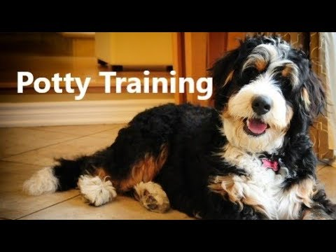 How To Potty Train A Bernedoodle Puppy Bernedoodle House